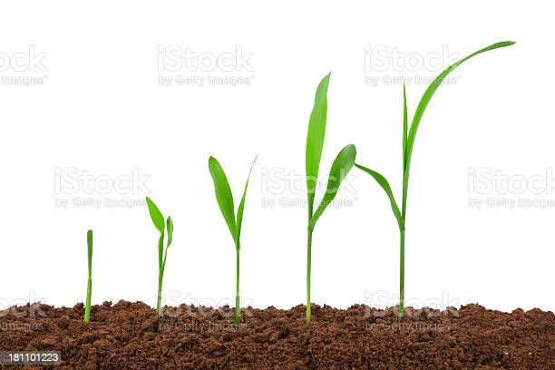Maizegrowing Plant Sequence In Dirt Isolated On White Background Stock Photo - Download Image Now