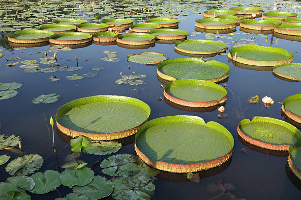 Majestic amazon lily pads (Victoria Regia) Majestic amazon lily pads in tropical Asia (Victoria Regia) victoria water lily stock pictures, royalty-free photos & images