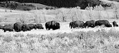 Majestic American Bison grazing on the open range in the Grand Teton National Park in the U.S. state of Wyoming