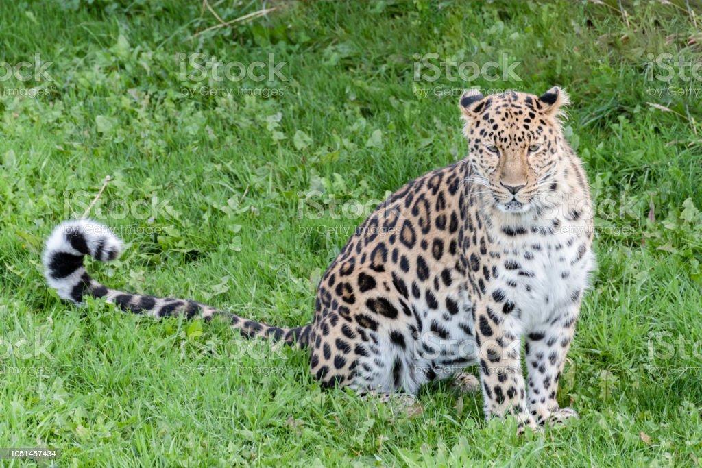 Majestätische Amur-Leopard – Foto