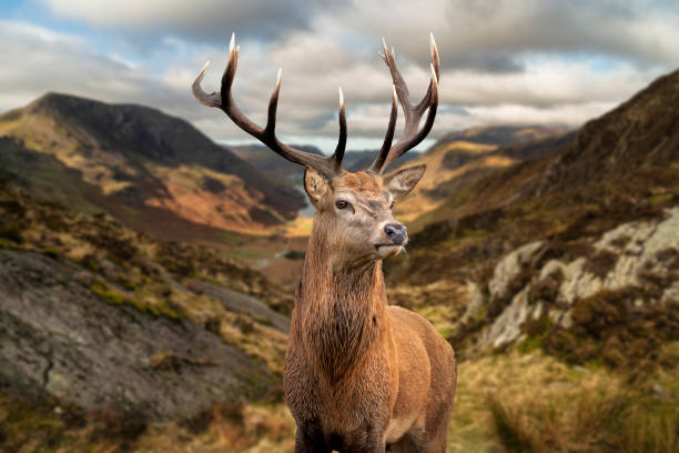 Majestic Autumn Fall landscape of red deer stag in front of mountain landscape in background stock photo