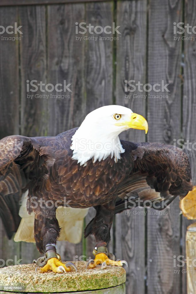 Majestic Bald Eagle perching on Wooden Trunk stock photo