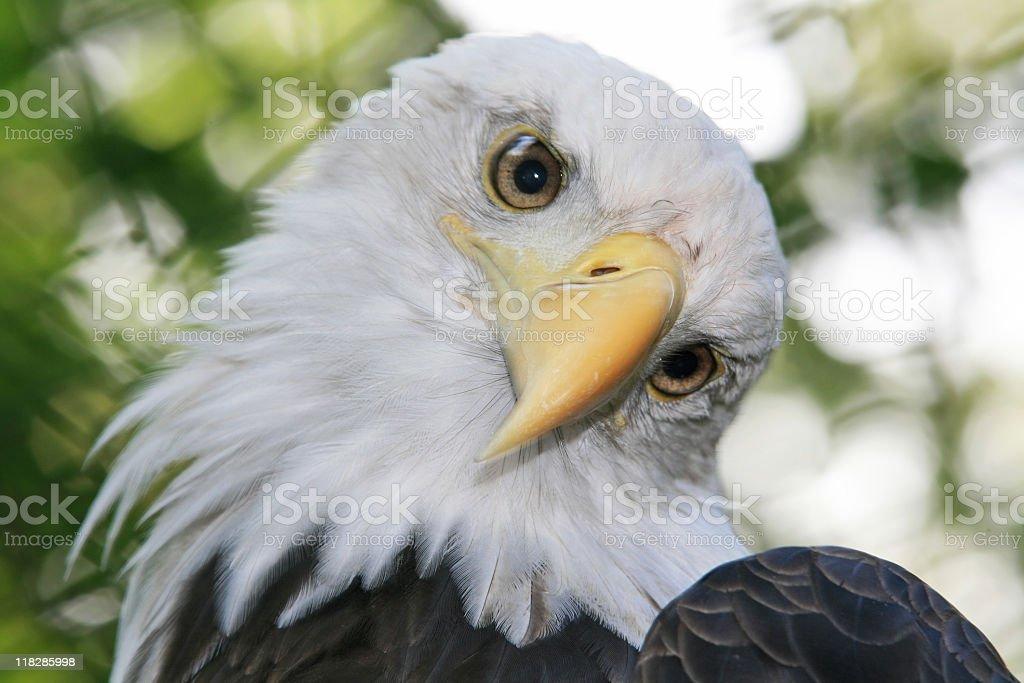 Majestic Bald Eagle (Haliaeetus Leucocephalus) stock photo