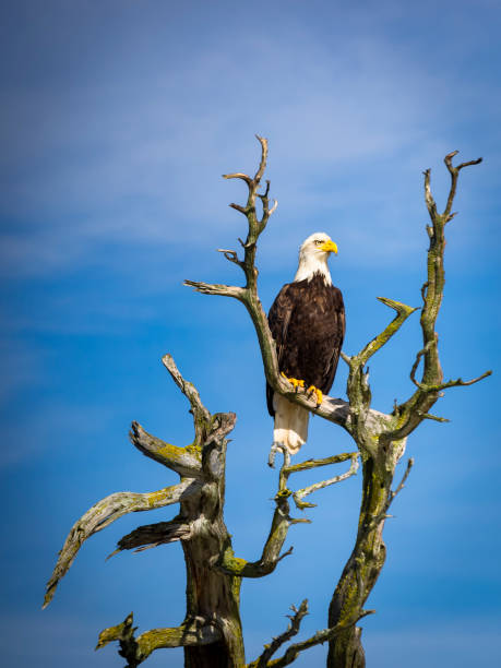 majestic bald eagle - naturediver stock pictures, royalty-free photos & images