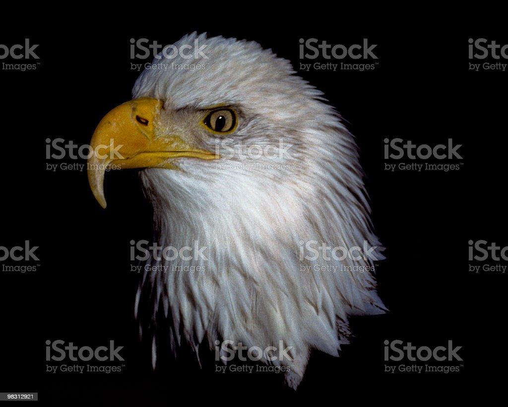 Majestic Bald Eagle royalty-free stock photo