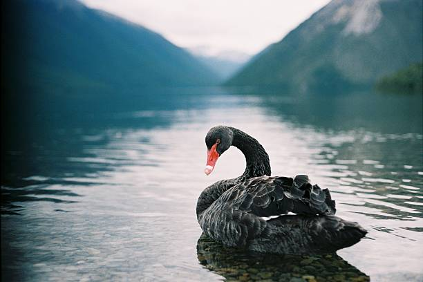 Majestic black swan swimming on Lake Rotoiti stock photo. Black Swan Pictures  Images and Stock Photos   iStock