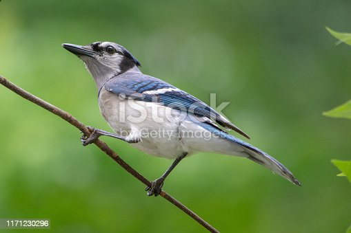 A majestic Bluejay pirches proudly on a slender branch.