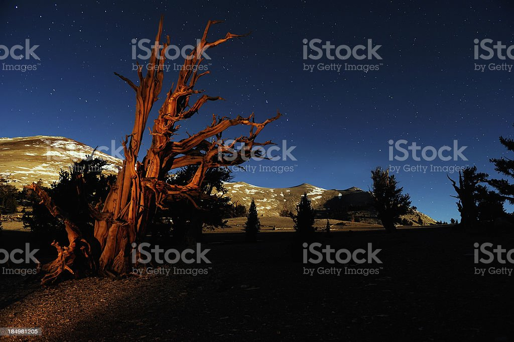 Majestic Bristle Cone Pines in the White Mountains of California royalty-free stock photo