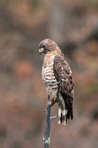 Majestic broad winged hawk stock photo