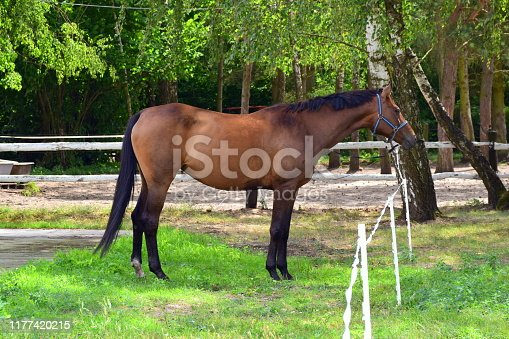 A majestic brown racing horse with a black mane and tail standing on a grass covered field, meadow, or pastureland next to a small orchard seen grazing on a cloudy summer day in Poland