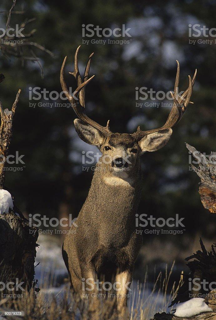 Majestic Buck royalty-free stock photo