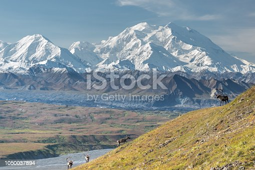 istock Majestic caribou bull in front of the mount Denali, ( mount Mckinley), Alaskal 1050037894