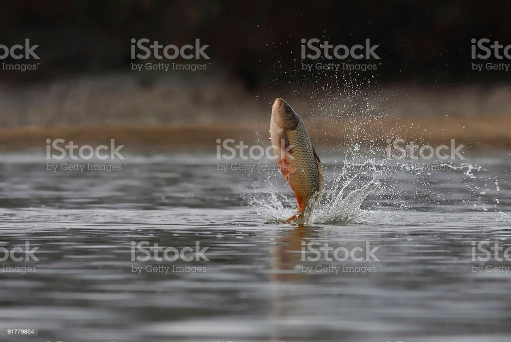 A majestic carp leaping out of the water stock photo