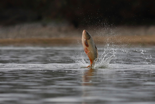 Fische Springen