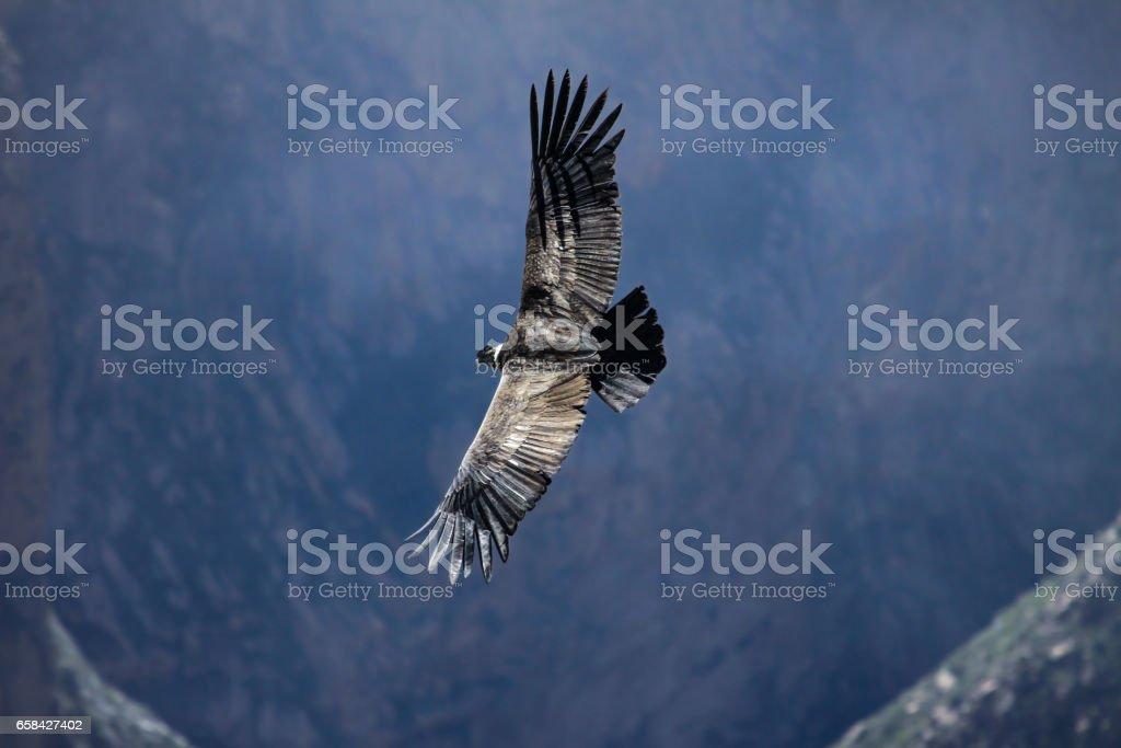 Majestätische Condor Andino gleiten über den tiefen Colca Canyon bei Cruz del Condor – Foto