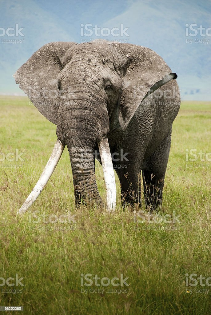 Majestic Elephant royalty-free stock photo