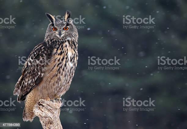 Majestic eurasian eagleowl picture id477584093?b=1&k=6&m=477584093&s=612x612&h=t42xjfocfkg p6jqhr689ir2c7qr32e0  ro1ayrotw=