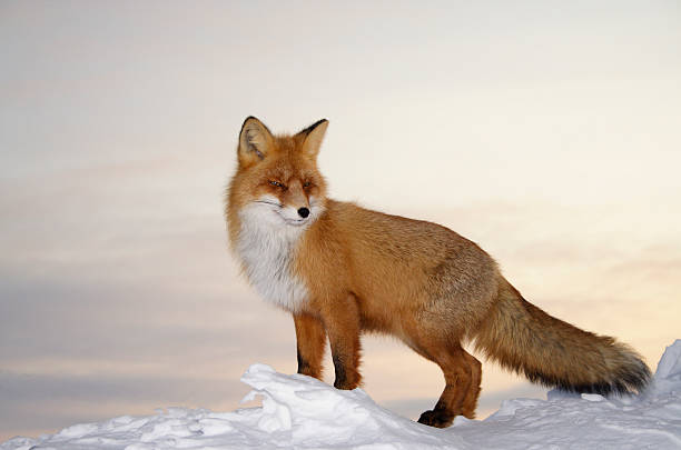 majestic fox. - fox stock photos and pictures