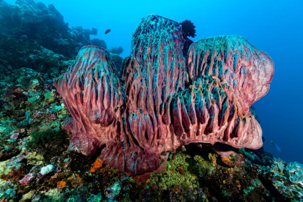 Majestic Giant Barrel Sponges Xestospongia testudinaria, Manuk Island, Indonesia stock photo