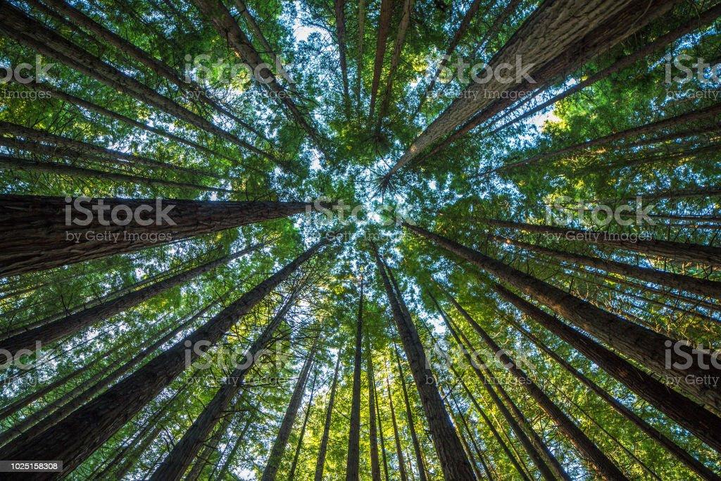 장엄한 거 대 한 레드우드 나무 풍경 - 로열티 프리 0명 스톡 사진