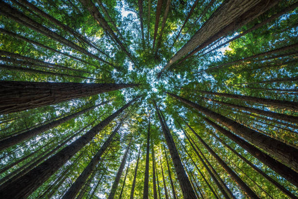 majestic giant redwood tree scenery - trees stock photos and pictures