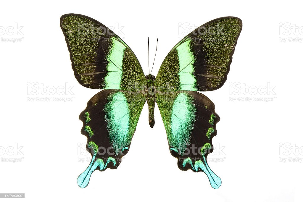 Majestic Green Swallowtail royalty-free stock photo