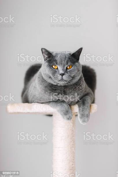 Majestic grey cat laying on the top of the scratcher picture id939601818?b=1&k=6&m=939601818&s=612x612&h=m3feuqaklbqtykekgqfqp3h cv0kyk4hu4tbqxtheoe=