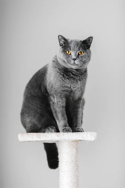 Majestic grey purebred cat sitting on the scratcher picture id939601798?b=1&k=6&m=939601798&s=612x612&w=0&h=2 86vjhm2b zz7 9 pvbz5i9dolqxpkdgqxphuxvlx8=