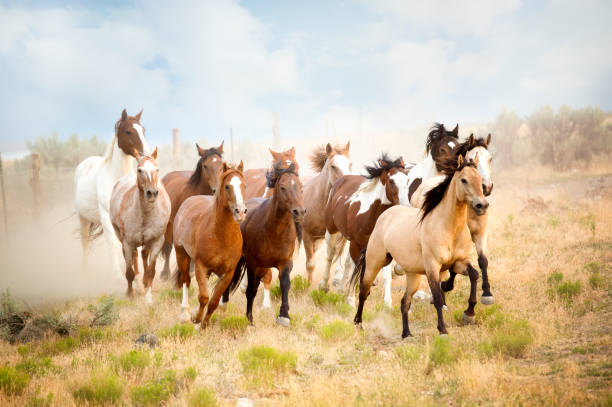 majestic herd of wild horses running in the desert.  freedom bound away from all that would do them harm.. - wildlife stock photos and pictures
