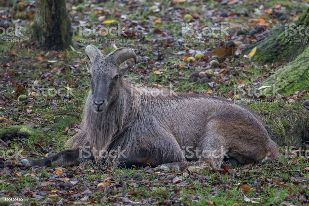 Majestic Himalayan Tahr Goat resting stock photo