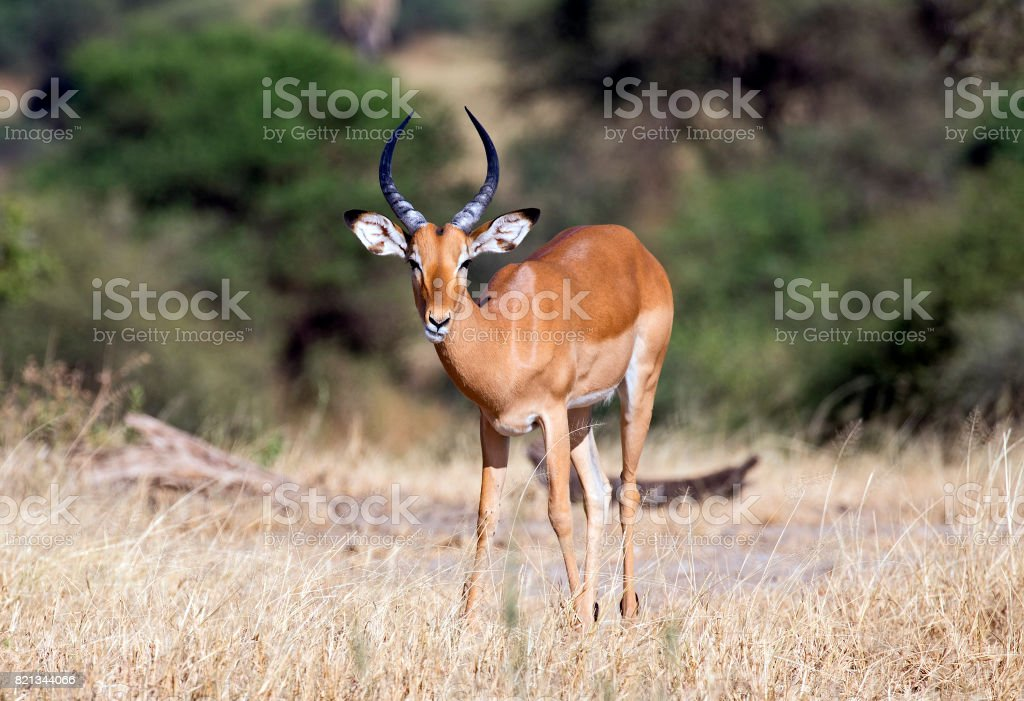 Majestic impala stock photo