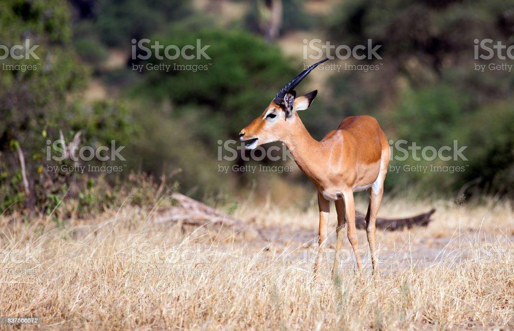 Majestic impala stock photo