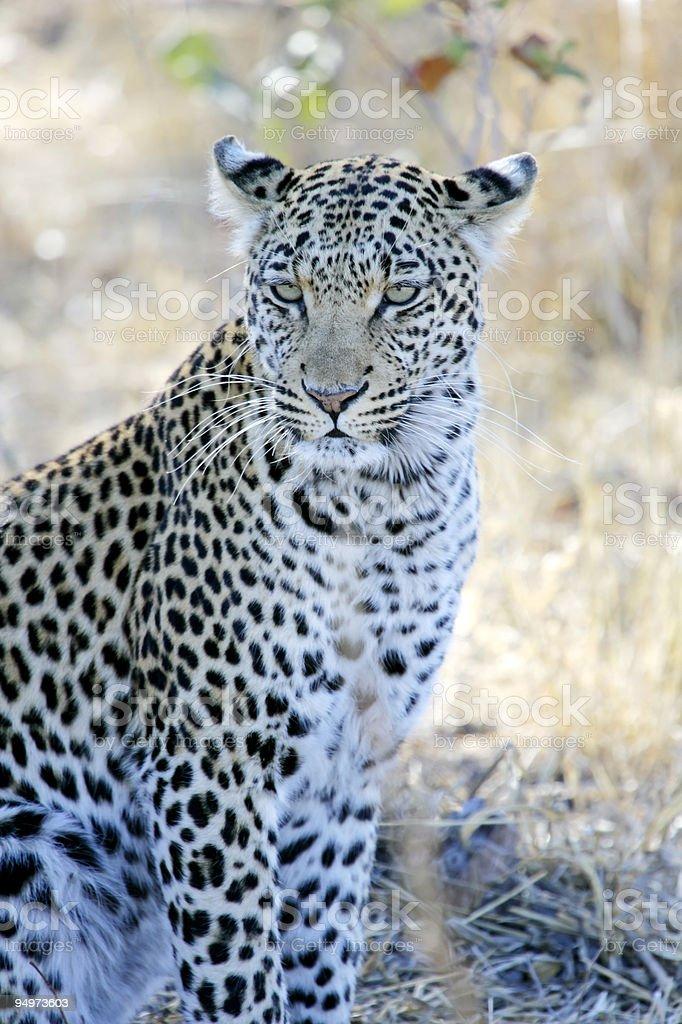 Majestic Leopardenmuster – Foto