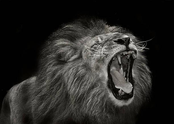majestic lion stok fotoğrafı