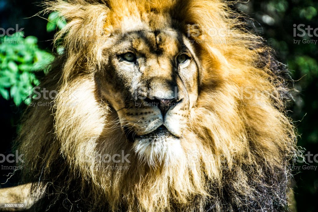 Majestic Lion stock photo