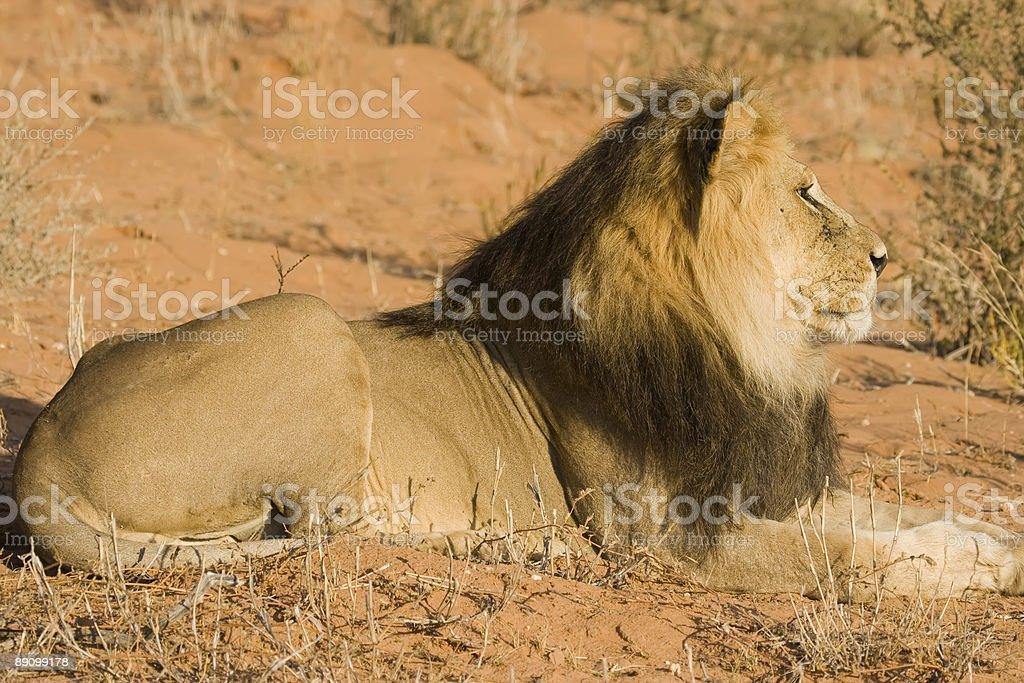 Majestic Lion royalty-free stock photo