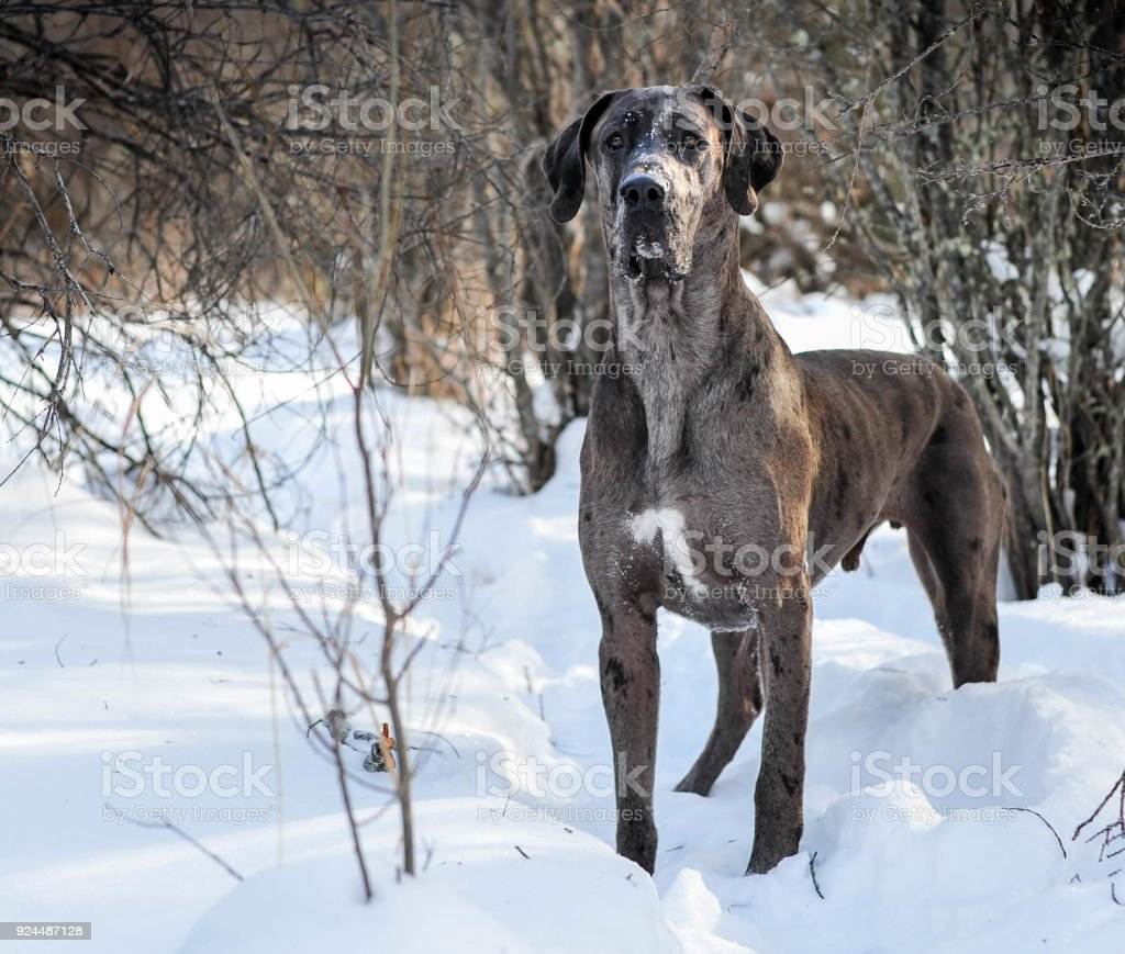 Majestic Look of a Curious Great Dane on a Winter Hike stock photo