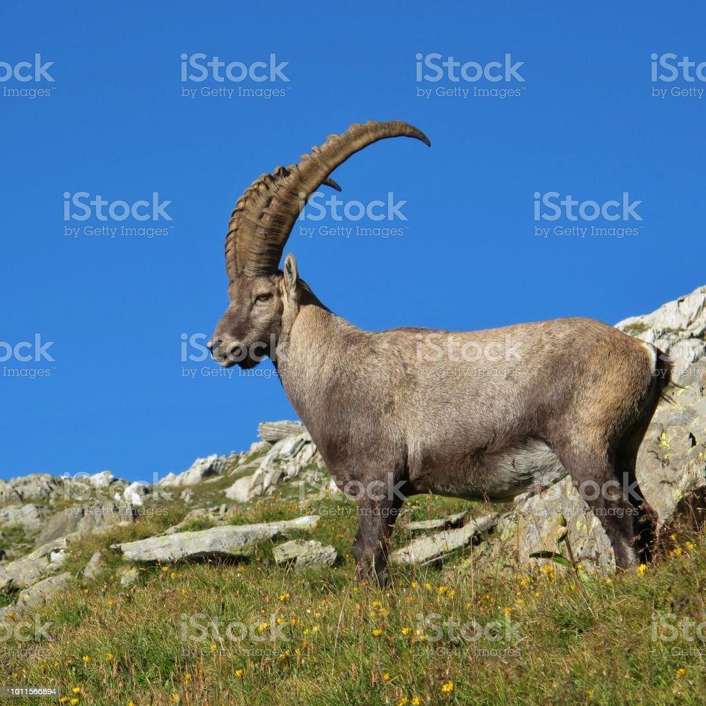 Majestic Male Alpine Ibex Stock Photo - Download Image Now - iStock