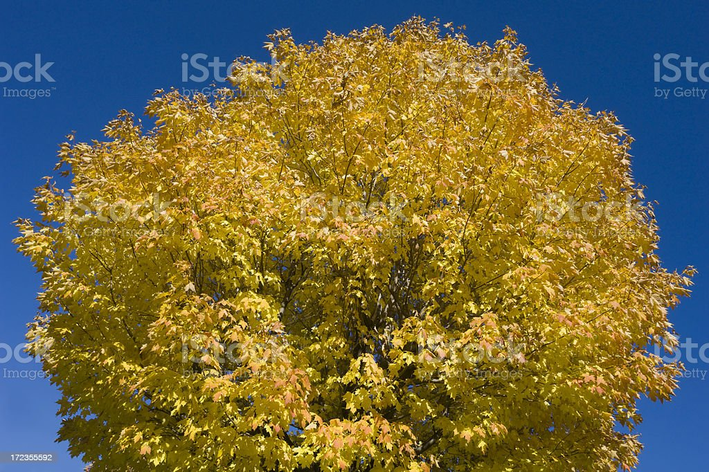 Majestic Maple royalty-free stock photo
