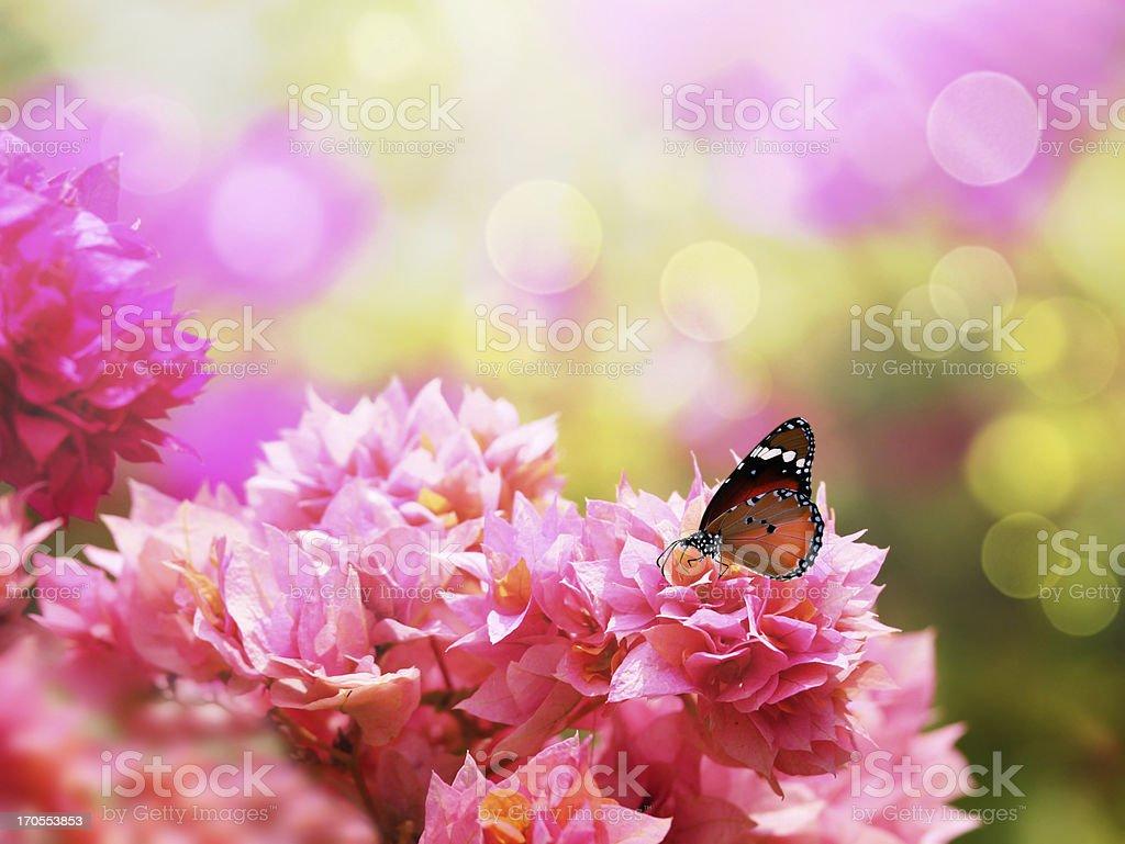 Majestic monarch butterfly on beautiful pink bougainvillea flowers - Royalty-free African Monarch Butterfly Stock Photo