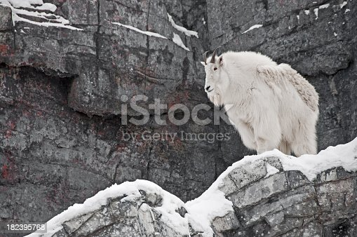 A Rocky Mountain Mountain Goat with winter coat.