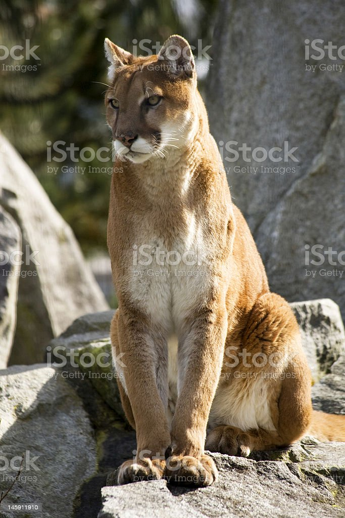 Majestic Mountain Lion Cougar Close Up and Looking royalty-free stock photo