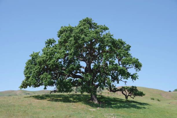 Majestic Oak Tree stock photo