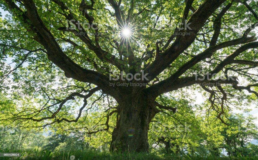 majestueux vieux chêne donnant l'ombre d'une prairie de printemps avec le soleil furtivement à travers - Photo de Antique libre de droits