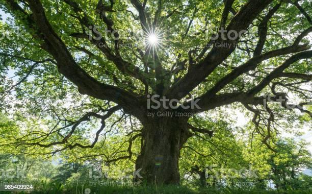 Majestic old oak giving shade to a spring meadow with the sun peeking picture id965409924?b=1&k=6&m=965409924&s=612x612&h=snhwcsil4 b7cknoncsta7jibhuqzkhqbu fi8tdtbi=