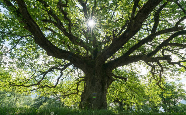 majestic old oak giving shade to a spring meadow with the sun peeking through - alberi foto e immagini stock