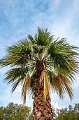 Majestic palm tree against a blue sky background with clouds. View from below.