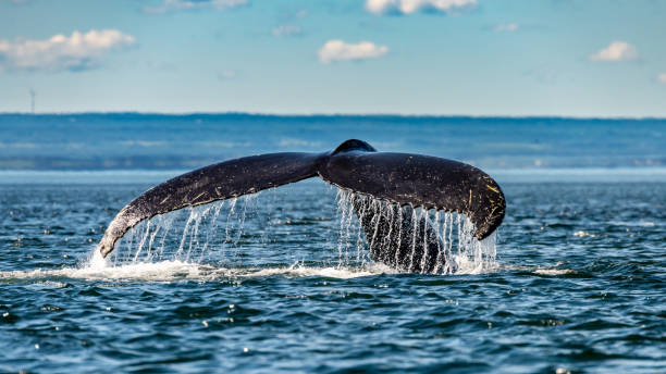 Majestuoso Humpback whale exhibiting its tail in St-Lawrence river (only place in the world where you can take a sit on the riverbank and watch the whales) whale stock pictures, royalty-free photos & images
