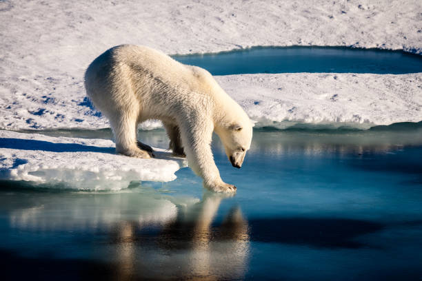 Majestic polar bear touching sea surface A beautiful polar bear is carefully touching the sea surface in order to cross a melt pond in the high Arctic Ocean, which is strongly influenced by climate change. ice floe stock pictures, royalty-free photos & images