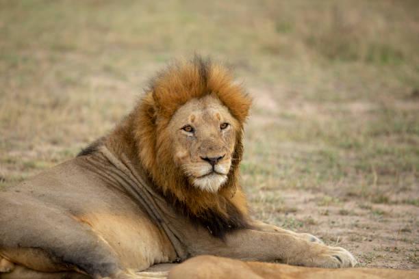A majestic pride of lions – zdjęcie